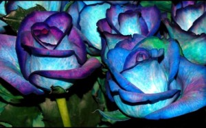blue_roses_2__wallpaper_480x300